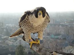 Falcon pic for WoW